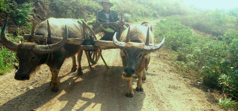 Bueyes en Myanmar